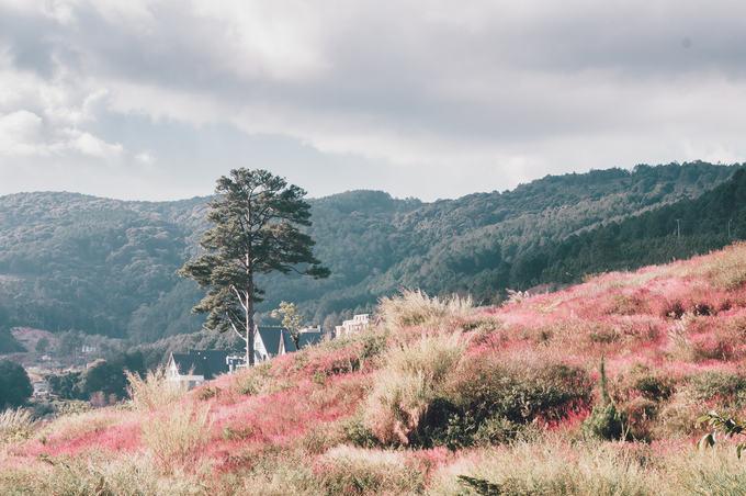 5.Đồi cỏ đuôi chồn hồng rực ở Đà Lạt1