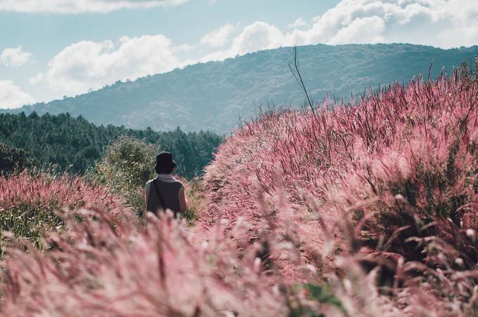 5.Đồi cỏ đuôi chồn hồng rực ở Đà Lạt2