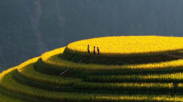 Ruộng bậc thang vàng óng vào mùa thu, mùa thu hoạch - Ảnh: MeogiaPhoto