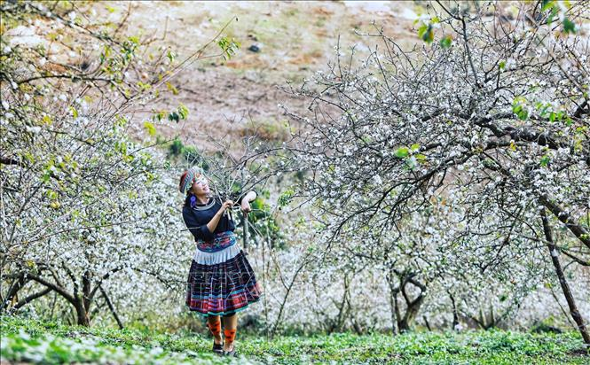 Du khách bên hoa mận trắng khoe sắc tại thung lũng Mu Náu.