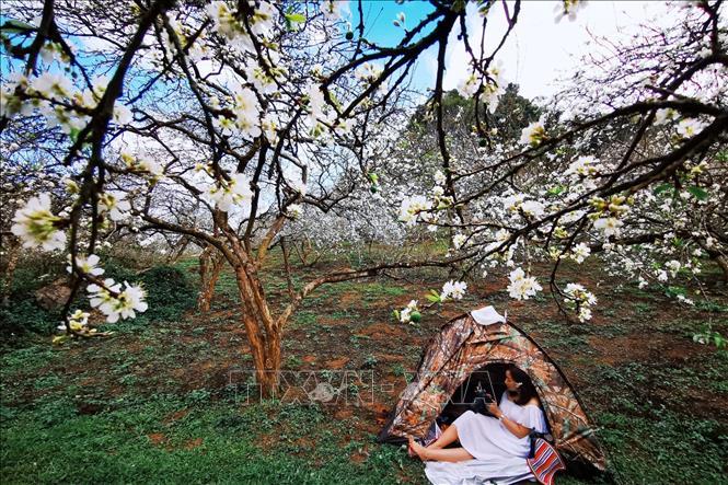 Du khách thả hồn giữa rừng hoa mận.