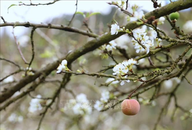 Thung lũng hoa mận Mu Náu nở trắng rừng lấp ló quả xanh, quả đỏ báo hiệu một mùa bội thu.