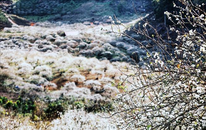 Hoa mận Mu Náu nở trắng cả thung lũng.