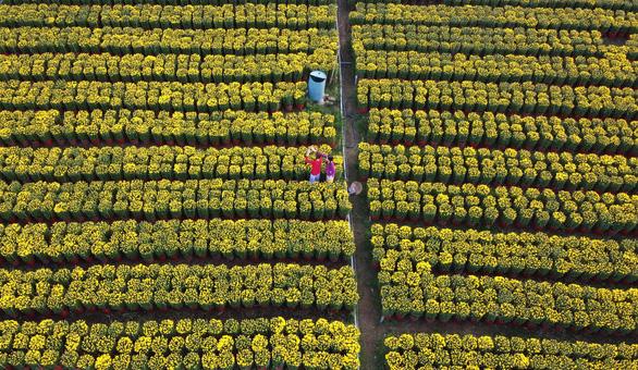 Những chậu hoa bung nụ vàng hoe khoe sắc ở Làng hoa Cái Mơn, huyện Chợ Lách, tỉnh Bến Tre thu hút giới trẻ đến tham quan, chụp ảnh - Ảnh: MẬU TRƯỜNG