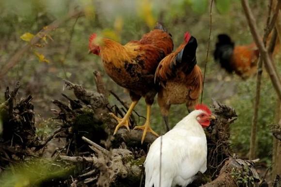 16.Gà đen có thật dinh dưỡng hơn gà bình thường