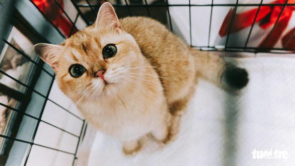Sự kiện hội tụ các bé mèo đẹp nhất thuộc các giống mèo có giá trị được nuôi dưỡng tại Việt Nam như mèo Anh lông ngắn, mèo tai cụp, mèo Ba Tư, mèo Exotic, mèo Maine-coon... - Ảnh: MAI THƯƠNG