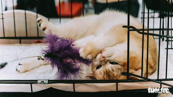 Một chú mèo tranh thủ đùa nghịch với cây lông gà trong lúc chờ đến lượt thi - Ảnh: MAI THƯƠNG