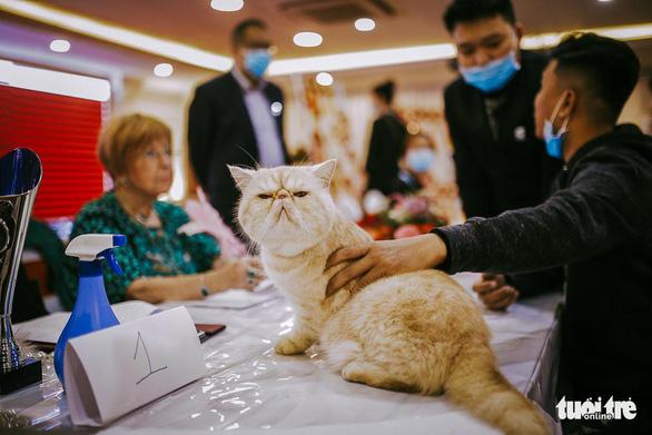 Chú mèo giống Exotic với gương mặt dễ 'quạu' - Ảnh: MAI THƯƠNG