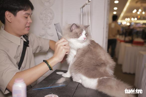Grooming đang trở thành 1 nghề hot trong cộng đồng yêu mèo Việt Nam - Ảnh: MAI THƯƠNG