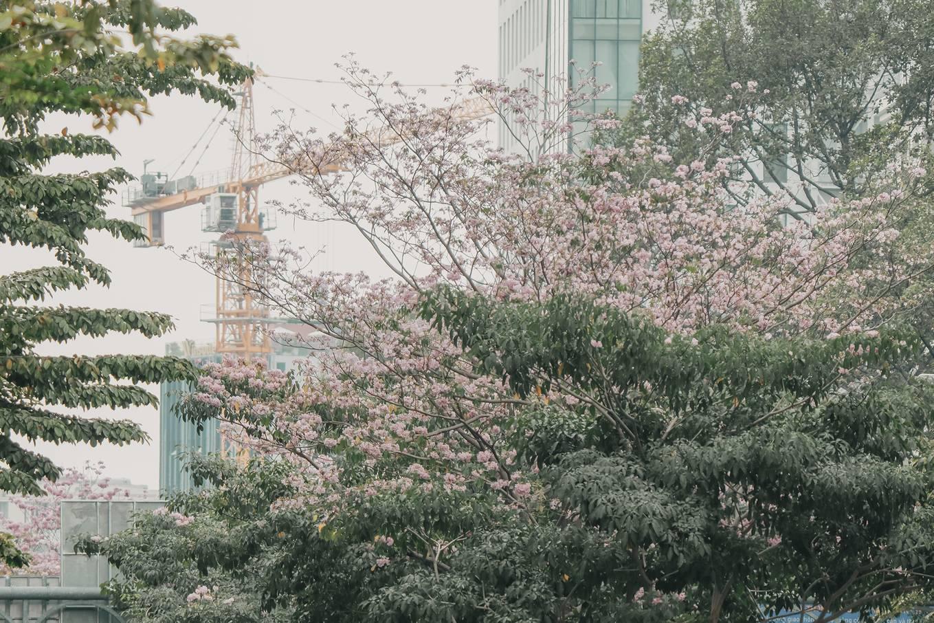 Ba điểm chụp ảnh hoa kèn hồng đẹp ở Sài Gòn11