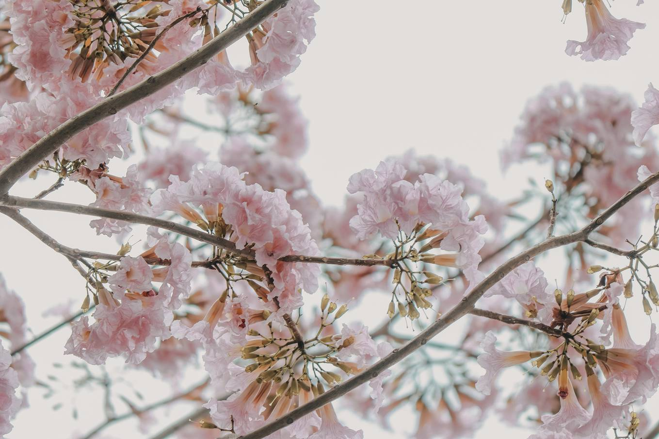 Ba điểm chụp ảnh hoa kèn hồng đẹp ở Sài Gòn2