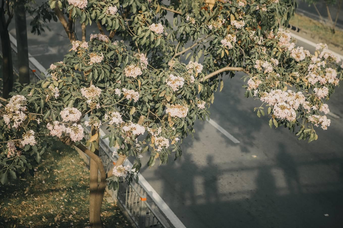 Ba điểm chụp ảnh hoa kèn hồng đẹp ở Sài Gòn5