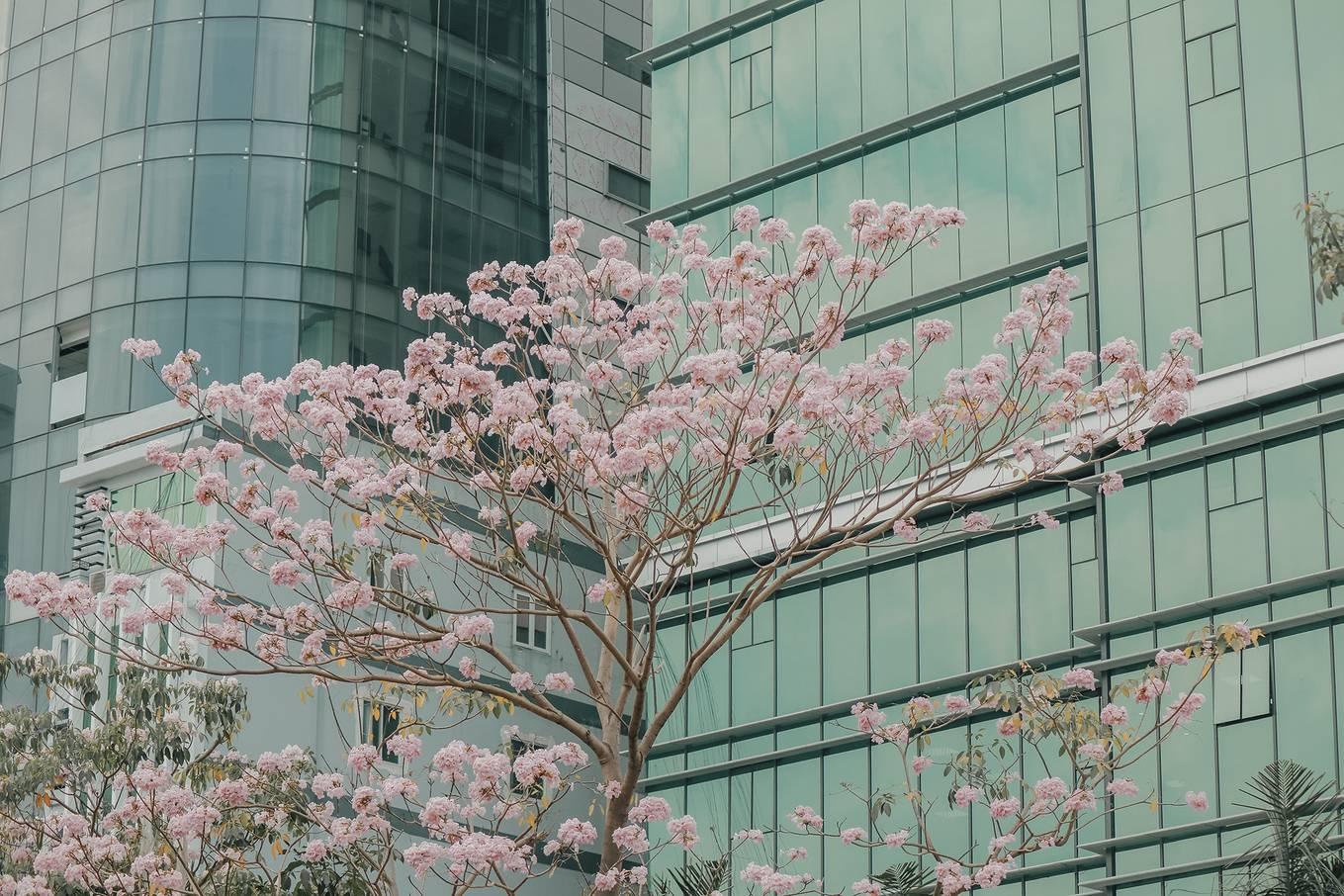 Ba điểm chụp ảnh hoa kèn hồng đẹp ở Sài Gòn7