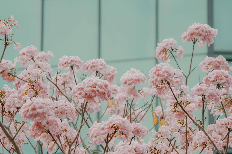 Ba điểm chụp ảnh hoa kèn hồng đẹp ở Sài Gòn8