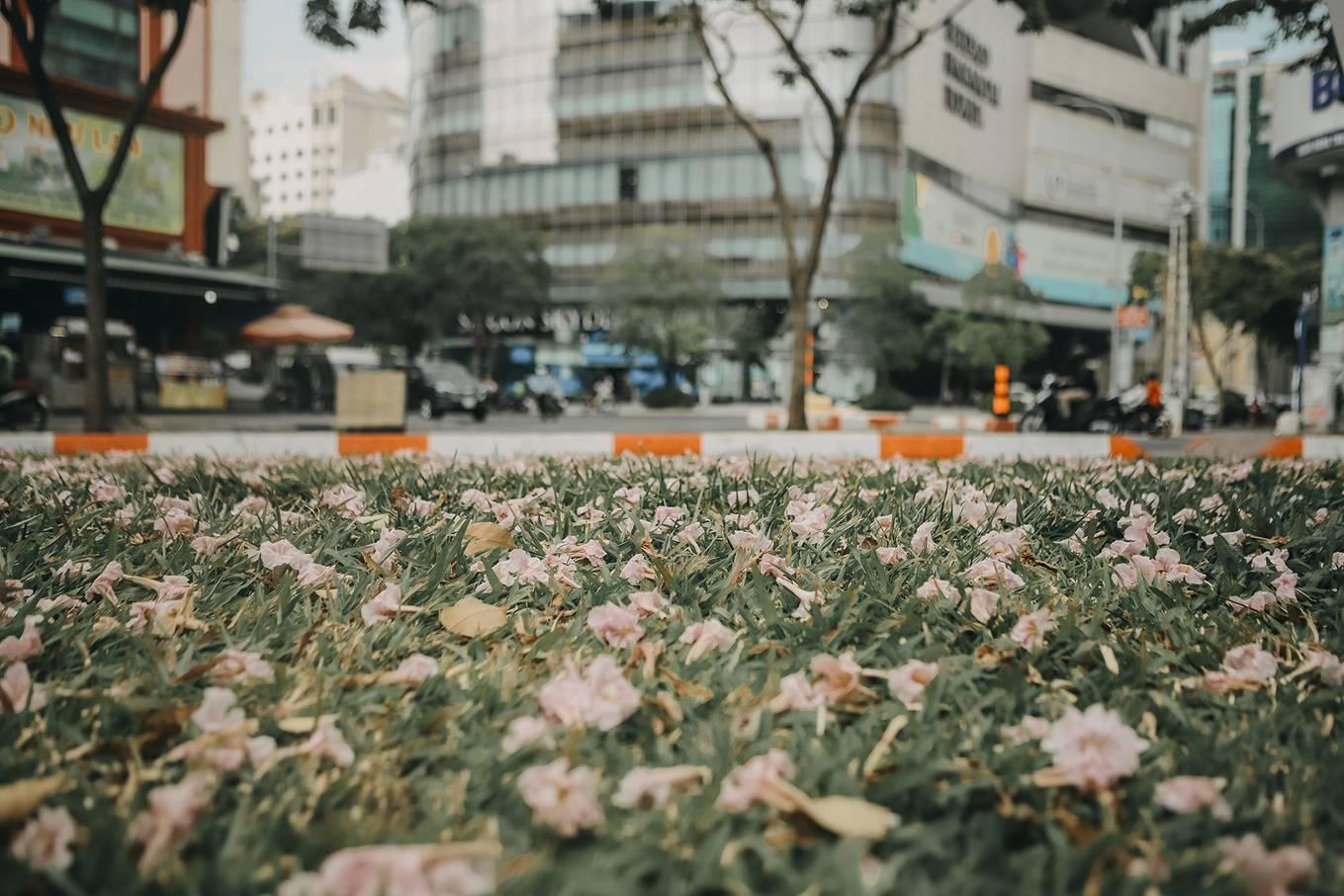 Ba điểm chụp ảnh hoa kèn hồng đẹp ở Sài Gòn9