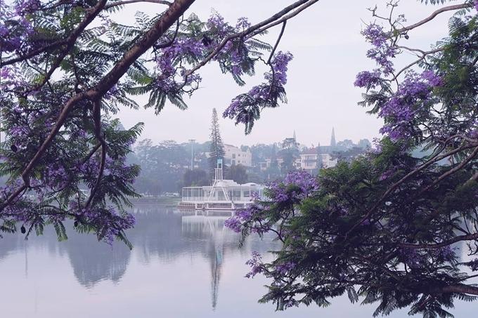 Phượng tím bên bờ hồ Xuân Hương. Ảnh kieung239