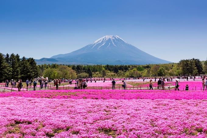 Vườn hoa shiba zakura.