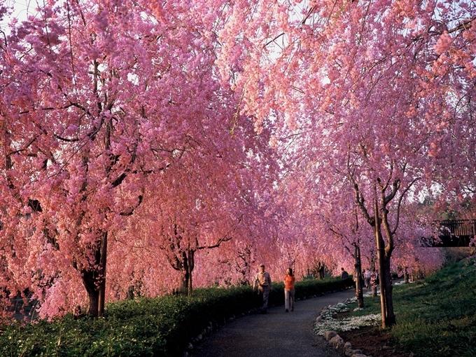 Con đường hoa anh đào cánh rủ.