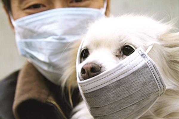 Pomeranian - Chú chó đầu tiên trên thế giới dương tính với virus Corona