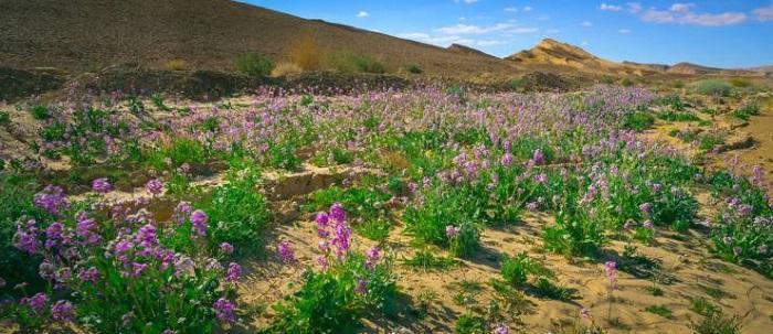 Flowering bushes in the Negev Desert, Ramon Crater, Israel